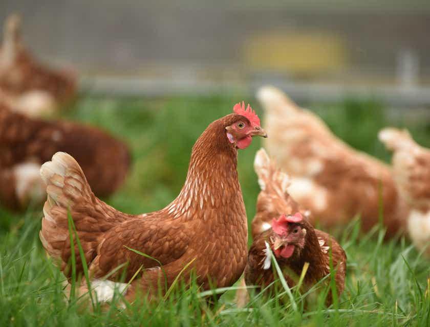 Chicken Farm Business Names