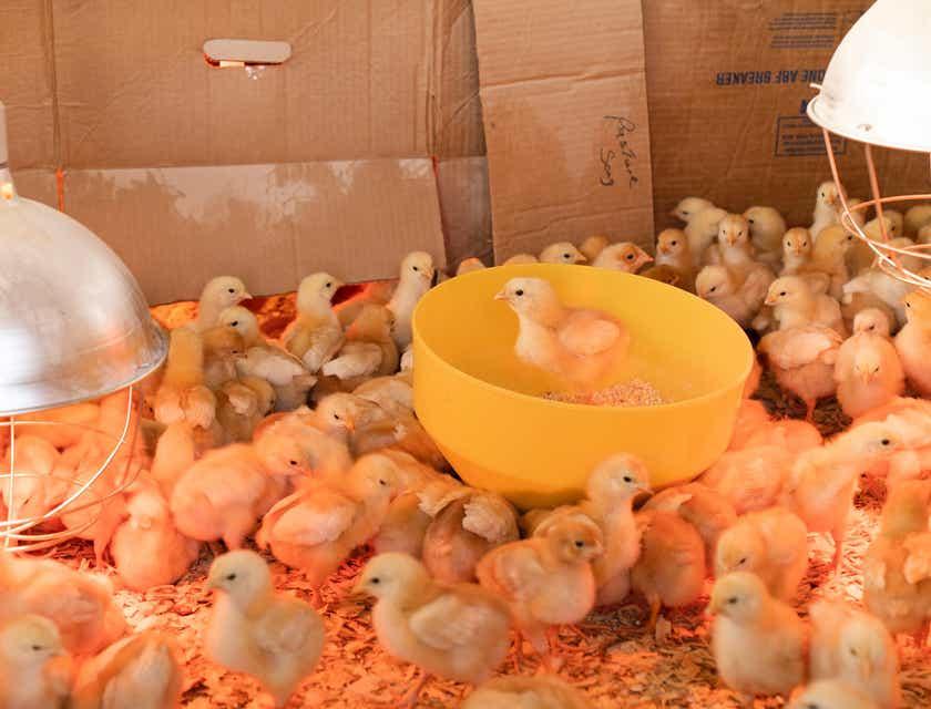 Nombres para una empresa de pollos
