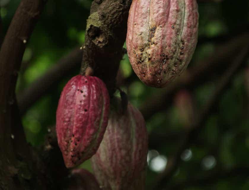 Nombres para negocios de cacao ecuatoguineano