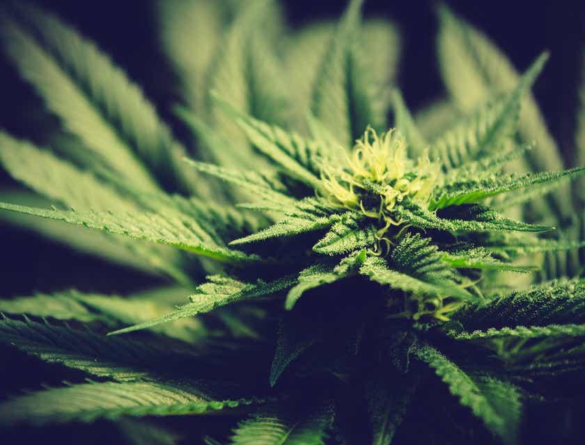 Nombres para negocios de marihuana medicinal